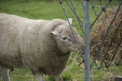 Ram feeding Stock Images