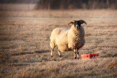 Ram feeding on a frosty morning Royalty Free Stock Photos
