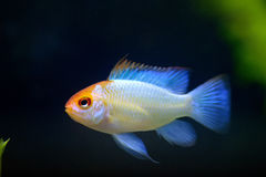 Ram fish royalty free stock image