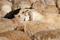 Ram with Flock of Sheep Royalty Free Stock Images
