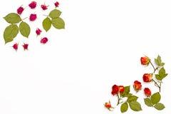 Ram från blommarosor på en vit bakgrund Blommamodell för hälsningkort för födelsedagen, bröllop, dag för moder` s, valentin` s Royaltyfri Foto