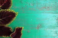 Ram från coleussidor på gammal målad turkosträbackgro Arkivfoto
