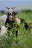 Ram Goat Royaltyfria Foton