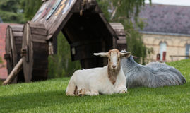 Ram and Goats. A pair of rescued goats at Mountfitchet Castle in Essex, in front of a battering ram where they often take shelter Stock Images