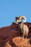 Ram grande de las ovejas de Bighorn del desierto Imágenes de archivo libres de regalías