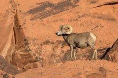 Ram grande do Bighorn do deserto na rocha Fotos de Stock Royalty Free