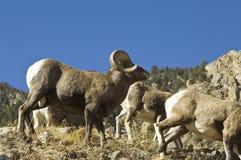 Ram grande do chifre de Colorado Foto de Stock Royalty Free
