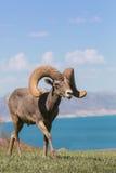 Ram grande dos carneiros de Bighorn do deserto Foto de Stock Royalty Free