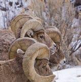 RAM grandes de las ovejas del claxon Fotografía de archivo