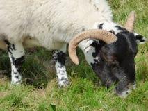 Ram Grazes Peacefully novo na ilha de Iona, Escócia Imagem de Stock
