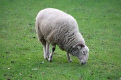 Ram grazing in a green grass field Stock Image