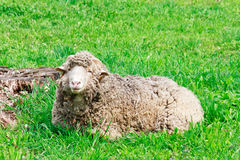 Ram grazing at green rural pasture Stock Image