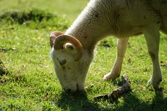 Ram on the green meadow Stock Image