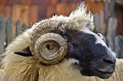Ram head Stock Image