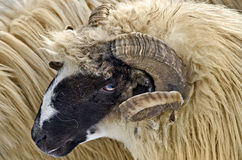 Ram head. Close up of a domestic ram head Royalty Free Stock Image