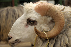 Ram head closeup. Stock Photo