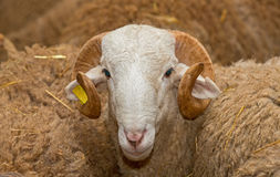 Ram head Royalty Free Stock Photos