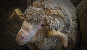 Ram Head Shot merino Immagine Stock