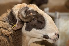 Ram head Stock Photo
