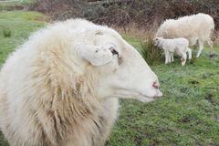 Ram and His Family Royalty Free Stock Photos