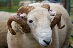 Ram with horns and ear tags Royalty Free Stock Photos