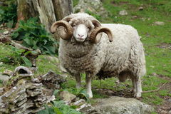 Ram with horns - full body shot. Ram with large curly horns standing in a rocky area looking straight at you Royalty Free Stock Photos