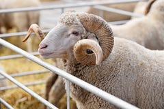 Ram inside a sheep farm Stock Images