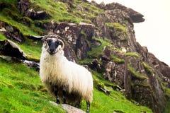 Ram irlandés solitario de la montaña en una ladera escarpada imagen de archivo libre de regalías