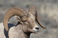 RAM joven de las ovejas de Bighorn Fotografía de archivo libre de regalías