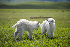 Ram lambs lamb sheep Royalty Free Stock Photos