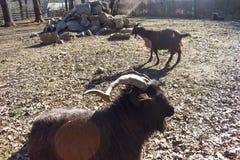 Ram lanosa nera nel cortile posteriore dell'azienda agricola in un giorno di molla soleggiato immagine stock libera da diritti