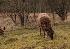 A ram grazing on Grass in Scotlan stock images