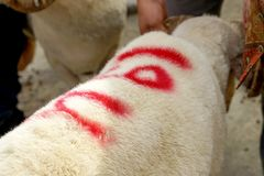 A ram that painted on its fur as a sign Stock Photo