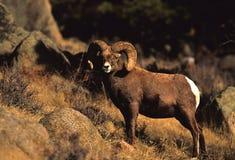 RAM llena del enrollamiento de las ovejas de Bighorn Fotografía de archivo libre de regalías