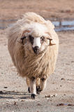 Ram long wool Royalty Free Stock Images