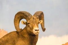 Ram Looking bij Camera Royalty-vrije Stock Afbeeldingen