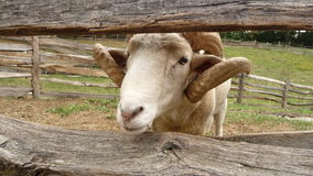 Ram looking through fence Royalty Free Stock Photography