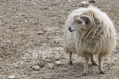 A ram looking for its sheep Royalty Free Stock Photos