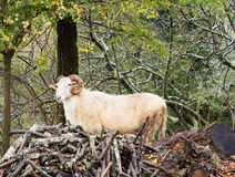 Ram majestosa nas madeiras, carneiros com chifres perfil Fotografia de Stock