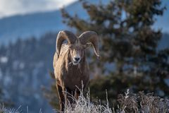 Ram male bighorn sheep standing on the edge of a cliff with frosty winter grasses. eating grass royalty free stock image