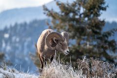 Ram male bighorn sheep standing on the edge of a cliff with frosty winter grasses royalty free stock photo