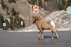 Ram male bighorn sheep trots and walks along a road in Radium Hot Springs, British Columbia Canada stock image