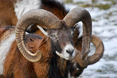 Ram male sheep Royalty Free Stock Image