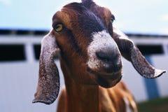 Brown Goat in farm in spring time