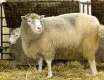 DOLLY THE CLONED SHEEP in the world