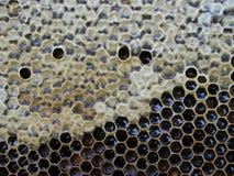 Ram med honung Royaltyfria Bilder