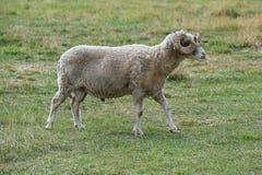 Ram met een grote hoorn stock afbeelding