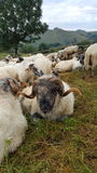 Ram in the middle of the flock. Sheep Male. Ram in the middle of the flock Royalty Free Stock Photo
