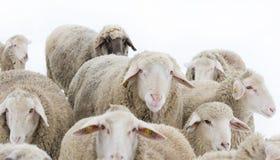 Ram mit Schafen Stockfotografie