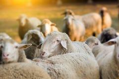 Ram mit Schafen Stockfotos